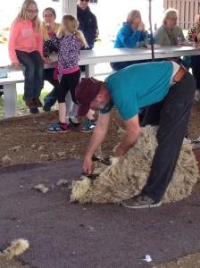 Sheep Sheering 4