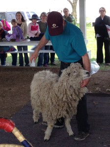 Sheepshearing1
