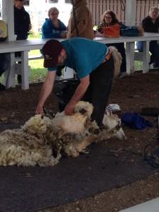 SheepSheering5