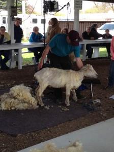 SheepSheering6